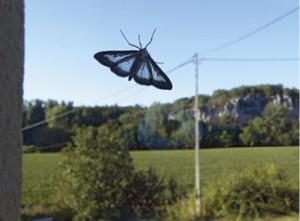 Après avoir ravagé le buis, la chenille se transforme en papillon.